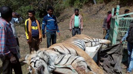 为什么老虎吃了人后要被杀掉 ?专家:不杀后果很严重!
