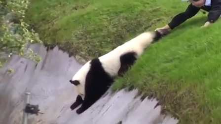 国宝熊猫在国外无法无天,饲养员都没办法,镜头拍下搞笑过程