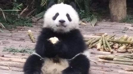 熊猫的苹果掉地上了,第一反应竟不是捡起吃,看完忍住别笑!