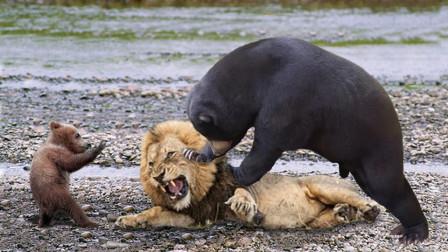 400斤黑熊闯入狮子点,狮子马上冲过去,大开杀戒