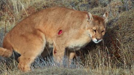 大驼马被4只美洲狮捕食,不甘心被吃,以一敌四重创美洲狮
