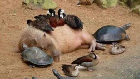 它只要一出现,所有动物都会围上来乖乖趴着,就连鳄鱼也要趴着