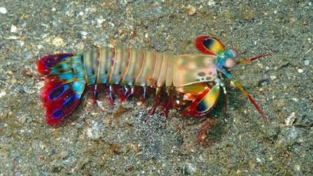 """世界上最""""凶猛""""的虾:一拳冲击力120斤,饲养它要用钢化玻璃"""