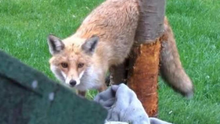 狐狸翻进院子想偷鸡,结果被卡在树上,镜头记录搞笑一幕