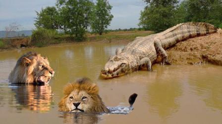 鳄鱼大战狮子,死亡翻滚下绝无活口,镜头记录整个过程!