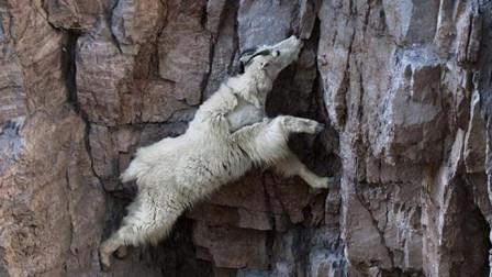"""最""""神奇""""的山羊,几乎一生都生活在峭壁上,牛顿都要被气哭!"""