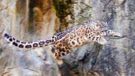 雪豹被困50米高悬崖上,结果失足掉了下去,它还能活着吗?