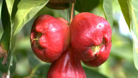 国内有种水果,一年四季多次开花多次结果,很多网友表示没见过