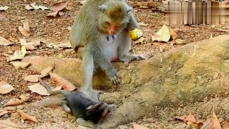 小猴子看大猴吃玉米,突然感觉哪里不对劲,镜头记录下残忍!