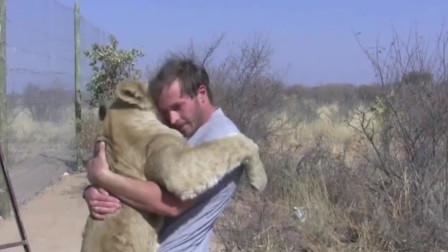 好心男子将小狮子放生,多年过后一眼认出对方,镜头记录感人画面!