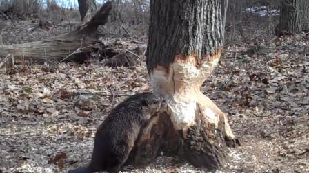 动物界的大师:只要功夫深,铁杵磨成针,木头也一样