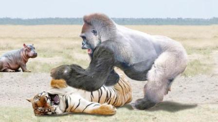 500多斤银背大猩猩,和东北虎打起来,究竟谁技高一筹