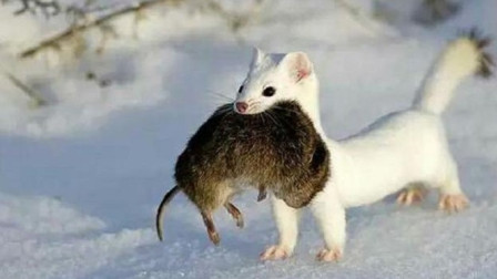 川西一巴掌大动物,一年吃3千多只老鼠,敢攻击大自己几十倍的旱獭