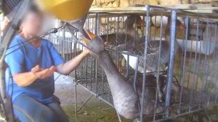 为什么鹅肝被称为最残忍的美食?看完生产过程,你还想吃鹅肝吗?