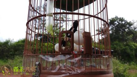 清脆的小黑白鸟叫声,在野外显得格外动听