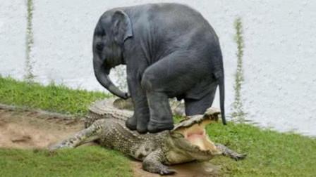鳄鱼偷袭喝水的小象,咬住象鼻子不放,大象一脚下去后战斗结束