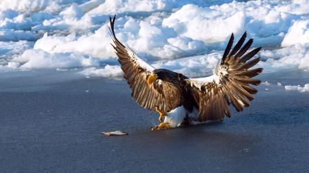中俄边境发现大型猛禽,头部有虎斑叫声如虎啸,能从狐狸嘴里抢食