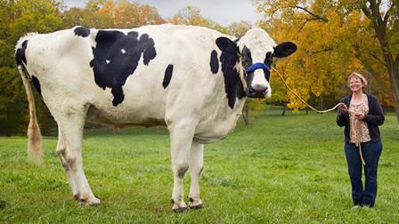 世界上最大的牛,体重达到1400公斤,身高接近NBA球员!
