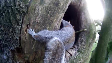 松鼠回家,发现自己的窝被霸占了,松鼠的反应亮了!