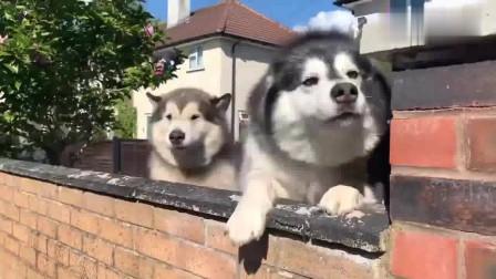 两只阿拉斯加犬看到有人在看它们,它们也走了过去