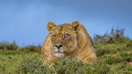 """猎人发现""""蓝眼睛""""的狮子,是变异还是进化?看完才知道"""