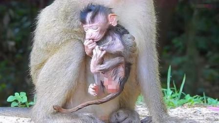 刚出生的猴宝宝累了,年轻的猴妈不会照顾小猴子睡觉?
