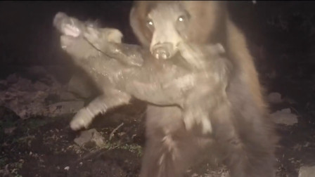 一只熊闯进农场,抓住一只猪就准备跑,结果意外发生了