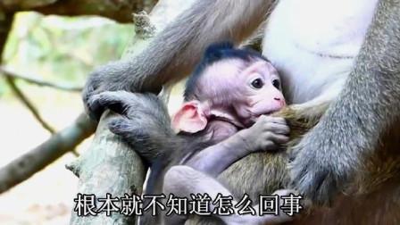 小猴子没安全感,紧紧抓住母猴不敢松手,惹母猴厌烦直接将它遗弃