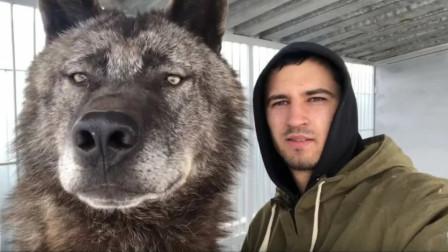 战斗民族小伙养最大的狼,驯服后又舔又咬!小伙都招架不住
