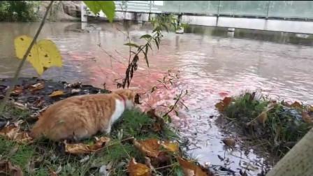 怪不得水池的鱼越来越少呢,原来就是你这只猫干的!