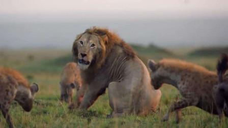 雄狮遭一群鬣狗围攻,孤立无援等待救助,下一秒让人大跌眼镜