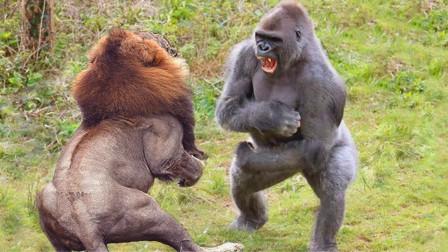 银背大猩猩和狮子打架,谁会先倒下?研究人员给出答案