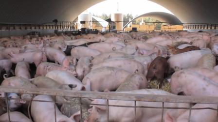 为什么美国能成为养猪第一大国?看看人家的猪粪处理,你就清楚了