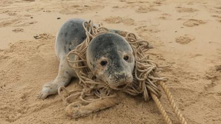 海豹被绳子缠绕多年,当救援人员帮它打开后,瞬间让人泪崩了