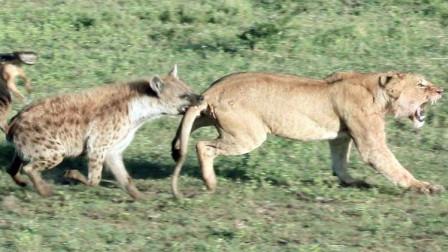 怀孕母狮遭鬣狗撕咬,危难之时,雄狮:老婆我接你回家