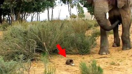 大象真的怕老鼠?为求证答案,研究人员做了一个实验