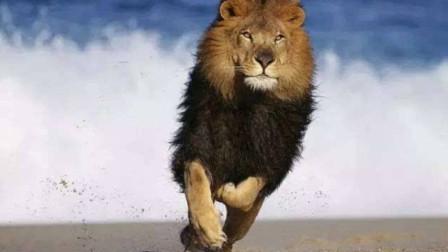 大肚子母狮被鬣狗围攻,眼看着被快被吃,雄狮:老婆我接你回家