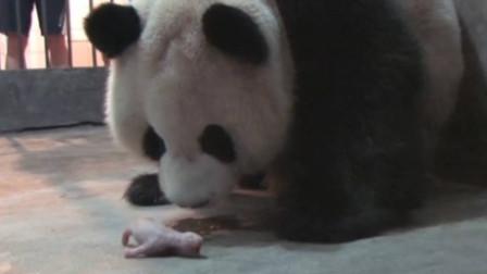 大熊猫第一次看见自己的儿子,请憋住别笑,镜头记录下全过程