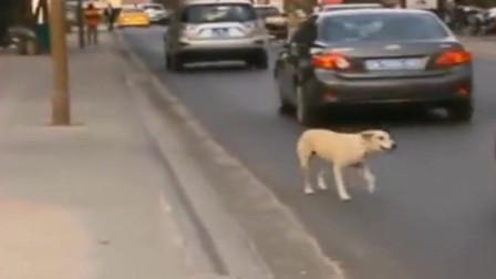 流浪狗在马路上拦截车辆,乞求带它回家,监控拍下潸然泪下的一幕