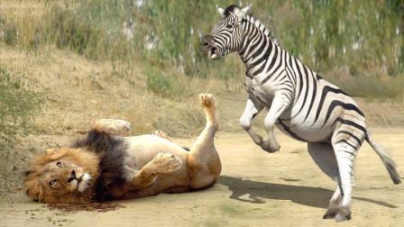 瘦弱的狮子捕杀斑马,不料斑马突然发飙,狮子的下场太惨了
