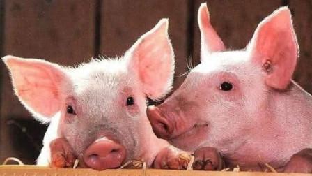 美国人基本不吃猪肉,为什么还是养猪大国呢?看完你就懂了