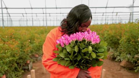 这个不起眼的非洲小国,没想到却是世界最大玫瑰出口国