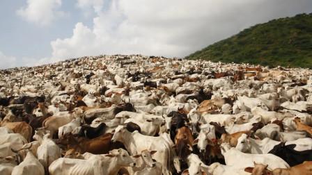 世界上最嚣张的动物,已经泛滥成灾了,却没人敢动它一根毫毛