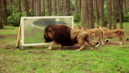雄狮看到镜子里的自己后,迷茫了!