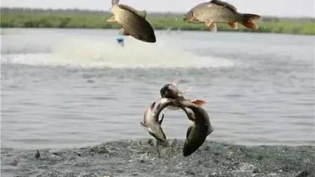 黄河里面那么多淡水鱼, 流入海里就会死, 那不就亏了吗?