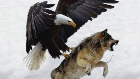 狼的天敌,仅仅听名字就让狼闻风丧胆,而且它专门吃狼!
