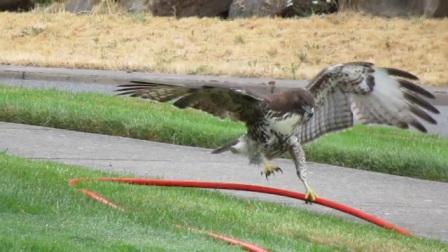老鹰误把水管当成一条蛇,从天而降将其擒住,丝毫没发现不对劲