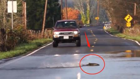 司机开一辈子车,估计也见不到这一幕,一条鱼突然横穿马路