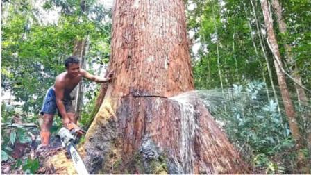 """伐木工砍树,却发现大树不停流""""眼泪"""",难道这是神树?"""