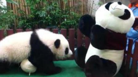 """熊猫宝宝看到比自己还大的""""熊猫""""时,一下扑了过去,下一秒别笑"""